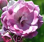 The Rose Spectrum