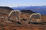 Mountain Goats (Oreamnos americanus) on the alpine slopes of Mount Evans (14250 feet), Rocky Mountains, west of Denver, Colorado, USA .  John leads private, wildlife photo tours throughout Colorado. Year-round.