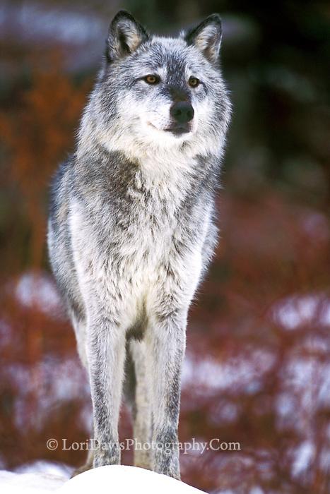 Silver Wolf  #Z8