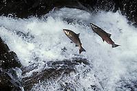 Chinook or king salmon (Oncorhynchus tshawytscha)