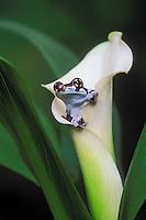 AMAZONIAN MILK FROG/Amazon Milk Frog..Native to Suriname, Guyana & the Amazon..Captive. (Phrynohyas resinifictrix).