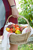 Close up of vintage varieties of tomatoes freshly picked from the vegetable garden and carefully placed in a wicker basket