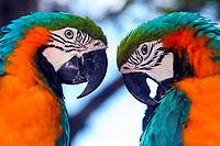 Beautiful, twin-like blue and gold macaws close-up, on Watson Island, near Miami Beach, Florida USA