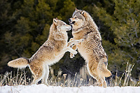 Two male Gray wolves (Canis lupus), rank fights, fighting in winter snow, Montana, USA, North America