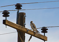 Prairie falcon, Falco mexicanus.  Oasis Valley, Nevada.