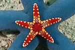 A small necklace sea star (Fromia monilis) on a bigger blue sea star (Linckia laevigata)