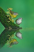 Tennessee Warbler and Nashville Warbler