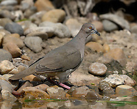 White-tipped Dove, El Tecalote Ranch, South Texas
