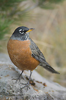 American Robin, Turdus migratorius, male, Yellowstone NP,Wyoming, September 2005