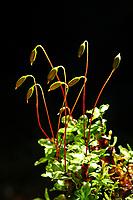Punktiertes Wurzelsternmoos, Rhizomnium punctatum, dotted thyme-moss
