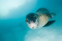 Leopard seal, Hydrurga leptonyx, Pleneau Island, Antarctic Peninsula, Antarctica.