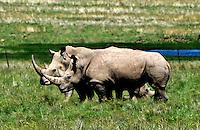 Jack Strydom Nature Reserve: AFRIKA, SUEDAFRIKA, 18.12.2007: Aliwal North, Nashorn,  Jack Strydom Nature Reserve,  South Africa, travel, Afrika, Suedafrika,