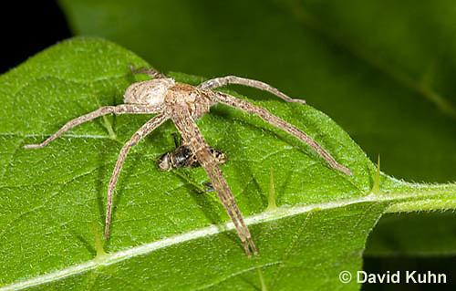 0113-1001  Nursery Web Spider Standing Over Recently Consumed Prey, Pisaurina mira  © David Kuhn/Dwight Kuhn Photography