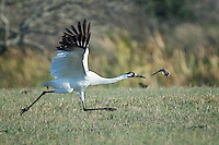 Whooping Crane take-off with dove flying nearby.