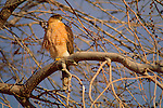 A Cooper's hawk perches in a tree in Bosque del Apache National Wildlife Refuge, New Mexico.