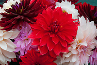 Dahlia mixture variety colors types, anemone types, cactus, cut flowers in vase, pink, red, cream