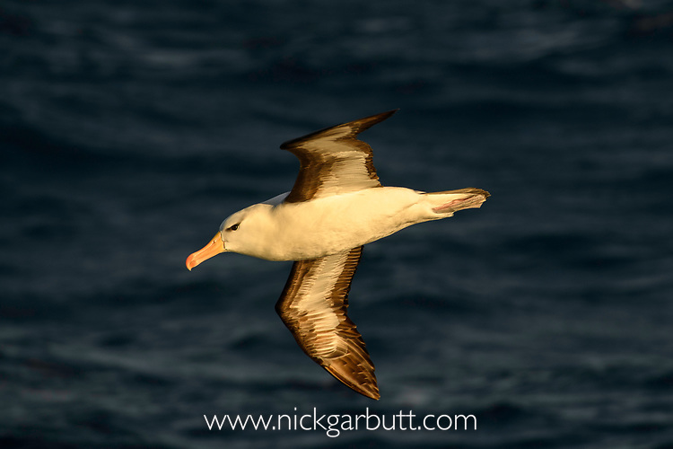 Black-browed albatross (Thalassarche melanophris) in flight at sunset. South Atlantic Ocean between The Falklands and South Georgia.