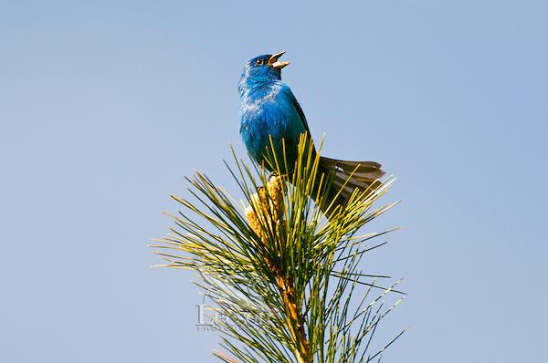 Indigo Bunting (Passerina cyanea) male singing in Red Pine tree. Spring. Carolinian Forest. Lake Ontario. Canada.