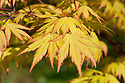 Acer palmatum 'Orange Dream', mid April.