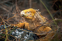 Yellow Land Iguana, Galapagos Islands, Ecuador