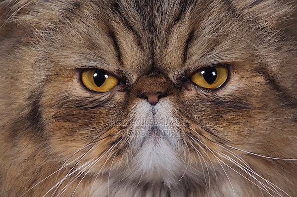 Persian Cat, Felis catus, Brown Tabby, Portrait, Hill Country, Texas, USA