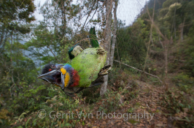 Chinese Barbet (Megalaima faber) caught in a poachers mist net. Guangxi, China. March.
