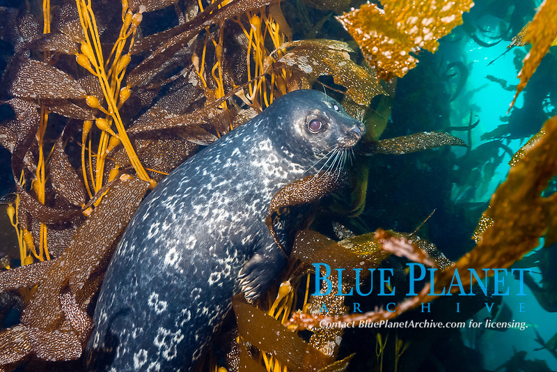 Pacific harbor seal, or Pacific common seal, Phoca vitulina richardsi, a subspecies of harbor seal, or common seal, Phoca vitulina, in giant kelp forest, Macrocystis pyrifera, Cedros Island, or Isla de Cedros, Baja California, Mexico, Pacific Ocean