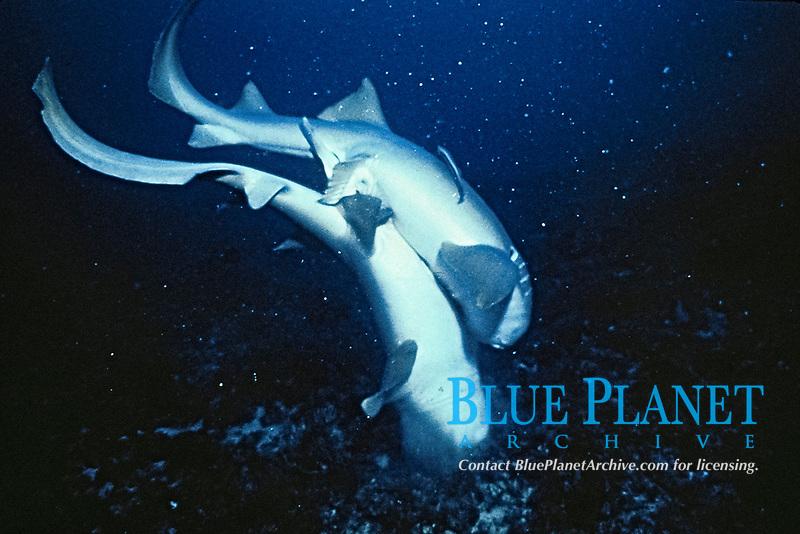 nurse sharks mating, Ginglymostoma cirratum, Florida, Atlantic