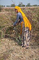 Rajasthan, India.  Rajasthani Woman Harvesting Mustard Seed.