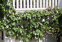 Prunus communis 'Beurre Bosc' Dwarf hybrid Pear fruit trellised against fence