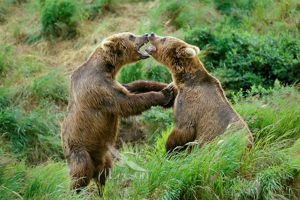 MA1305  Coastal Grizzly or Alaskan Brown Bears wrestling.  Alaska.   Summer.
