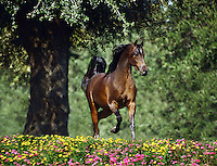 Arabian stallion trots toward us through wildflowers.