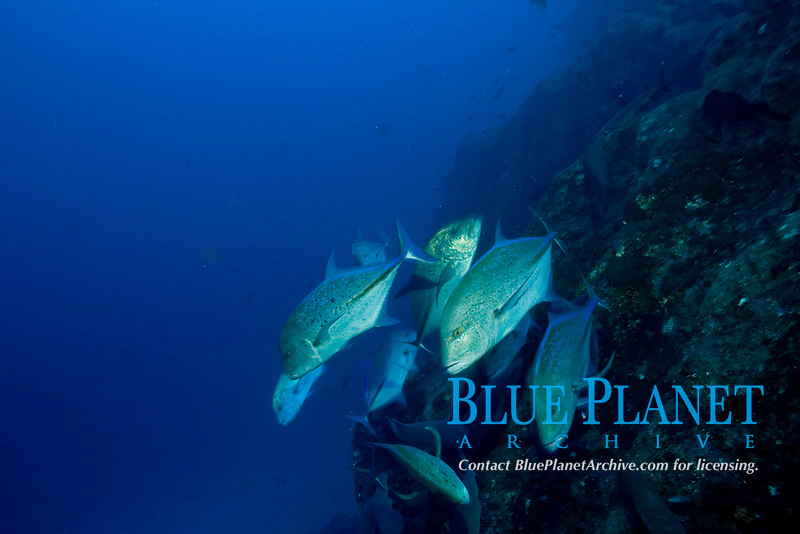 Caranx melampygus, Blue-spotted jacks, hunting at cocos island, costa rica, pacific ocean