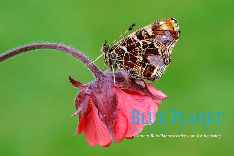Map Butterfly (Araschnia levana), adult, roosting on Water Avens (Geum rivale), France, Europe