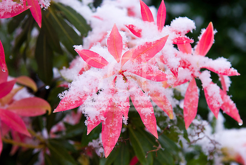 Kingston upon Thames, England. Frosty, snowy day. Pieris japonica bush with snow.