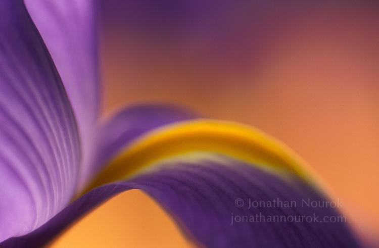 close-up of a purple iris flower