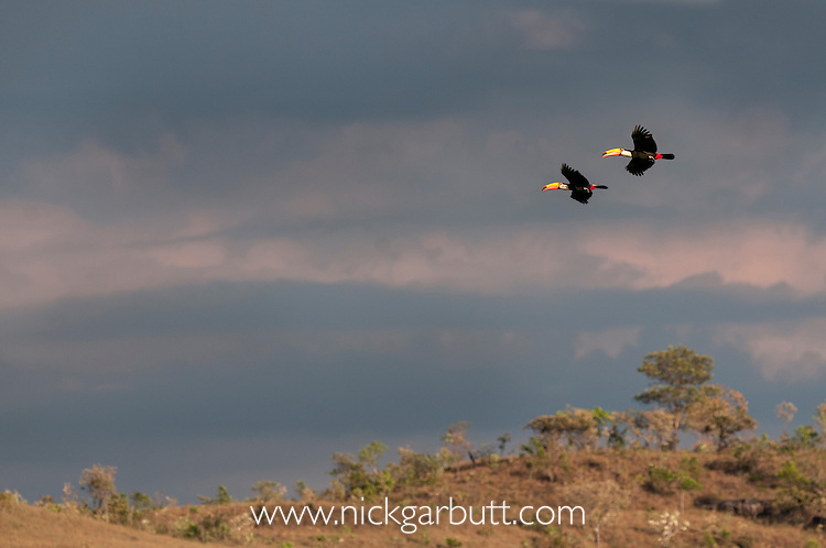 Toco Toucans (Ramphastos toco) (Family Ramphastidae) flying over the Chapada, with stormy skies building. Chapada dos Guimarães, Brazil.