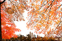 The brilliant hue of orange maple leaves in autumn frame the Charlotte, NC, skyline. A summer with frequent rains, followed by fall with hot afternoons and cool nights gave leaf peepers a pallet of colorful fall foliage to enjoy in 2009.