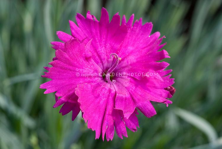 Dianthus Neon Star in hot pink flower, Star Single Series