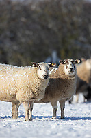 25-1-2021 In lamb ewes out in snow covered fields in Lincolnshire <br /> ©Tim Scrivener Photographer 07850 303986<br />      ....Covering Agriculture In The UK....