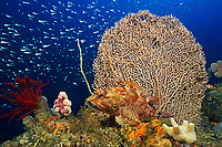 Rockfish, Sebastiscus marmoratus, and sea fan, Futo, Sagami bay, Izu peninsula, Shizuoka, Japan, Pacific Ocean