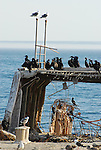 Cormorants and gulls on cement ship at Seacliff SB.   FB 388<br /> Front. Top left.