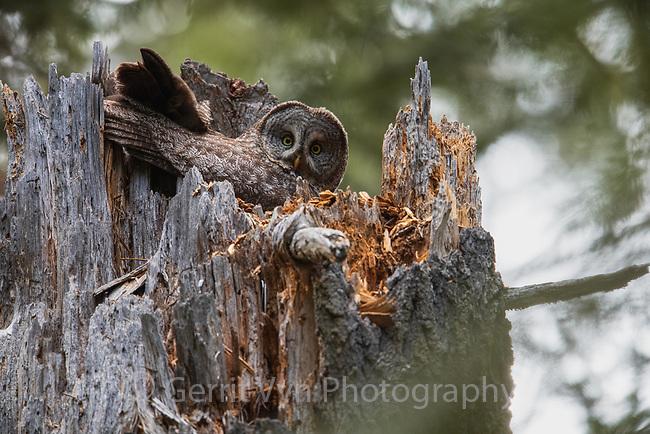 Great Gray Owl (Strix nebulosa) female on nest. Jackson County, Oregon.