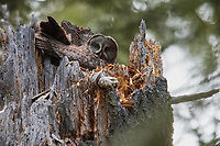 Great Gray Owl (Strix nebulosa) female on nest. Jackson County, Oregon.