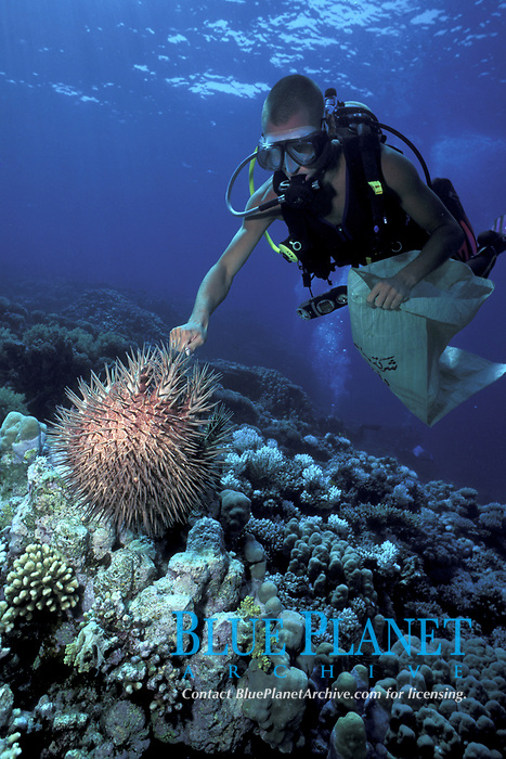 Hurghada Environmental Protection and Conservation Association (HEPCA) volunteer removes crown of thorns starfish, Acanthaster planci, from reef in Red Sea