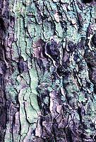 Grove den (Pinua aylvestris)
