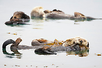 Enhydra lutris nereis, Sea otter, Five sea otters float on their backs on the ocean surface, Each will wrap itself in kelp (seaweed) to keep from drifting as it rests and floats,, Morro Bay, California, USA