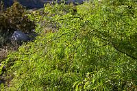 Prosopis glandulosa Honey Mesquite tree with fresh spring foliage- Sonoran Desert at Anza Borrego California State Park