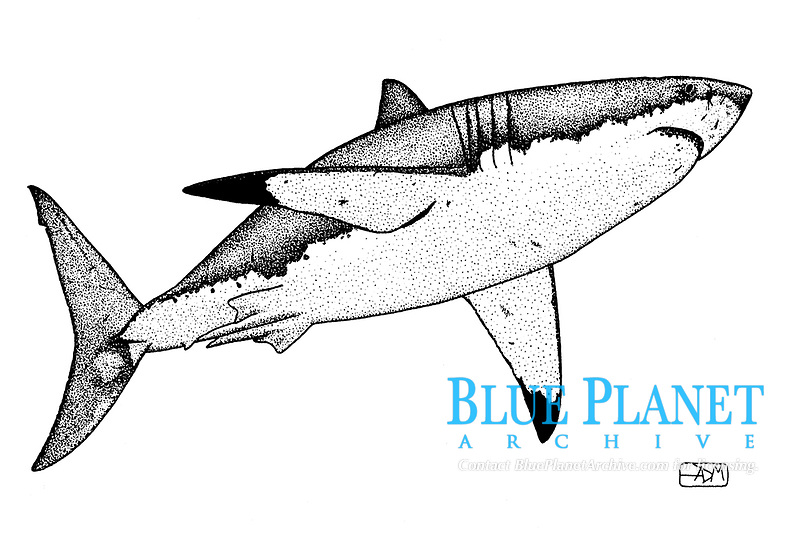 Great white shark, Carcharodon carcharias, swimming, pen and ink illustration.