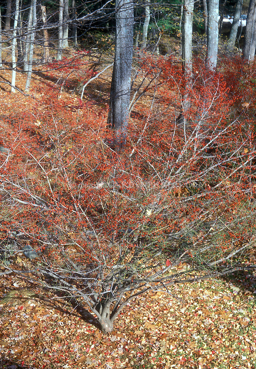 Euonymus alatus Compactus in winter red berries (Burning Bush)